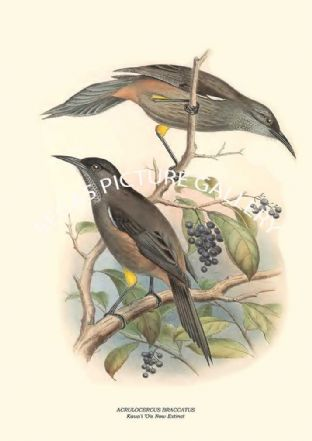 ACRULOCERCUS BRACCATUS - Kaua'i 'O'o Now Extinct